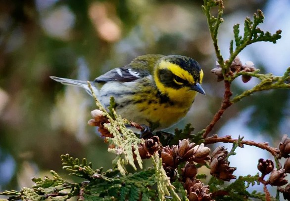 Connecticut's long-awaited first Townsend's Warbler was present 17—20 Apr 2020 (here 19 Apr) at Cedar Hill Cemetery in Wethersfield, CT. The state's birders were happy to finally log a species for which there are many regional records. Photo by © Julian R. Hough