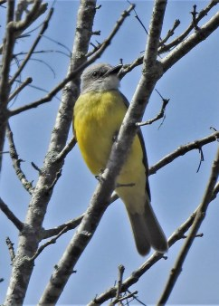 Couch's Kingbird, 7 Mar, east of Emelle, Sumter Co, Alabama, Alabama's second identified by voice. Photo © Rick Kittinger