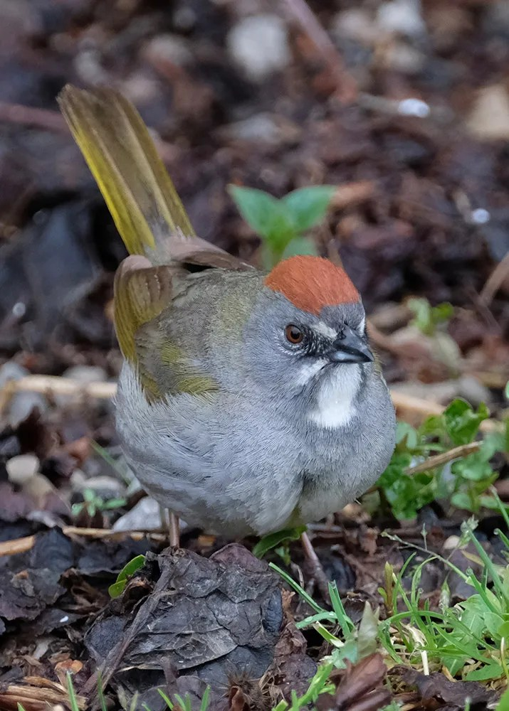 There were two records of Green-tailed Towhee in Alberta in 2020. This bird was at Cochrane 22 May 2020. Photo © Steve Dyke.
