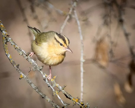 Manitoba's second confirmed record of Worm-eating Warbler involved this bird at Winnipeg, present from 27 to 30 April 2020 and seen here on 29 April. The first sighting took place at Delta in May 1996. Photo © Claude Garand.