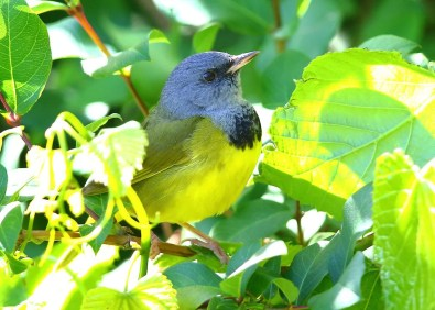 Mourning Warbler, 7 May at Monte Sano S.P., Madison Co, Alabama, rare but regular in spring in the T.V. Photo © Bala Chennupati.