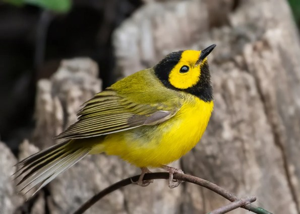 This Hooded Warbler at Regina on 24 May 2020 provided Saskatchewan with about its seventh record. Photo © Annie McLeod.