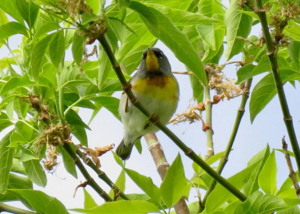 This Northern Parula at Lethbridge 29 May was far west of its usual range.