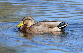 Fig. 5. As one might expect, Mallard x Mexican Duck hybrids have characters of both parental species. This male hybrid has the head of a male Mexican Duck, excepting that the crown and eyeline are tinged green. The body pattern is much like that of a male Mallard, but somewhat faded, with a scattering of brown feathers like those of a Mexican Duck. The white tail and black tail coverts are classic Mallard. Peña Blanca Lake, Arizona; Jan. 20, 2015. Photo by © Steven G. Mlodinow.