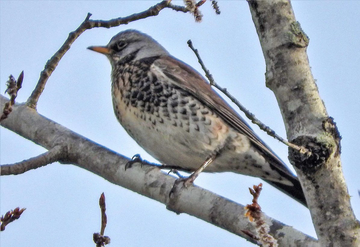 ME's first Fieldfare, here 19 Apr. 2017, was present from that date to 23 Apr. in New Castle. Photograph by © Jeff Cherry.