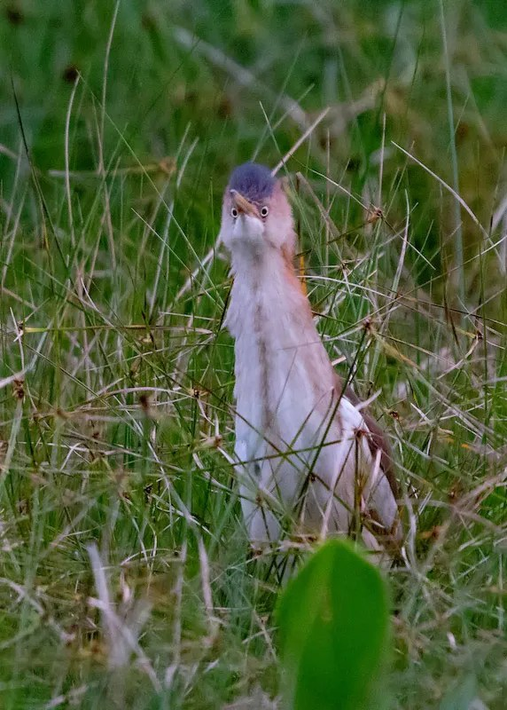 Marsh birds have been increasing in recent years at Eufaula N.W.R. This Least Bittern was one of 7 counted on 1 Jun 2020, setting the maximum summer count for inland Alabama. Photograph © Andrew Lydeard.