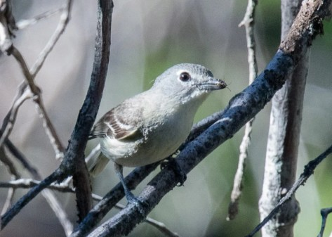 A nesting pair of Plumbeous Vireos in the Desert View area of the Laguna Mountains provided the first documented nesting record of this scarce Southern California breeding species in San Diego Co. This adult was photographed carrying food on 18 Jun 2020, and fledged young were observed a week later. Photo © Nancy Christensen.