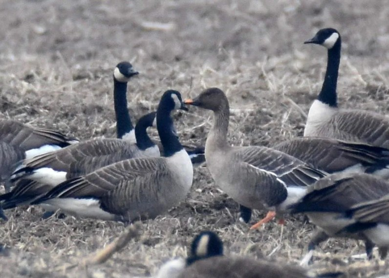 Although its species identification is still being debated, this bird represents the first record of Taiga/Tundra Bean-Goose for Ontario. Here photographed 9 Nov, it was present 8–22 Nov in the Ottawa area. Photo © Luke Berg.