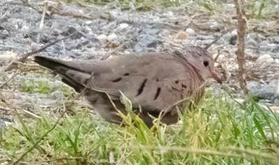 New Jersey's fifth Common Ground Dove was hidden from view for most of its brief stay at Edwin B. Forsythe NWR's Cedar Bonnet Island in Ocean Co on 11 Nov 2020. Photo © Amy Davis.