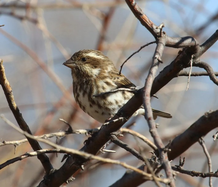 This female plumaged Purple Finch was a first for De Baca and part of a small influx of the species into eastern New Mexico during the season. Photo © Matt Baumann