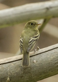 A long overdue state-first Yellow-bellied Flycatcher was found in Fields, Harney Co, 16 Sep 2020. Fields boasts eight first state records, including three that have not been seen since. Photo © David Irons.