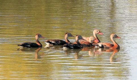 Six Black-bellied Whistling-Ducks were in Roswell early in the season. Photo © Patrick Collins