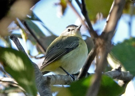 This Philadelphia Vireo in Manzanita, Tillamook Co, 27 Sep 2020 was a long overdue first for the state's coast. The five previous Oregon records were from well-covered Harney Co in late May and early June. Photo © Diana Byrne.