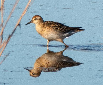 This Sharp-tailed Sandpiper, photographed at Bombay Hook NWR, Kent Co, on 8 Nov 2020, was Delaware's third; the state's previous records are from 1993 and 2002. Photo © Jeff Kietzmann.