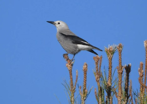 A streak of rarities continued when Clark's Nutcracker delighted many with its appearance in Alpine, TX at the end of November. Photographed 06 Dec 2020. Photo © Dave Dolan