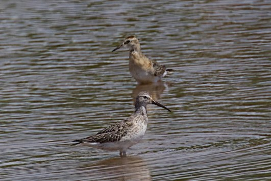 A scaly-plumaged juvenile Stilt Sandpiper at Salt Ponds Beach Park, Kauaʻi briefly delighted birders 19 Oct–22 Oct, 2020. It constituted Hawaii's fifth record. Photo © Reginald David.