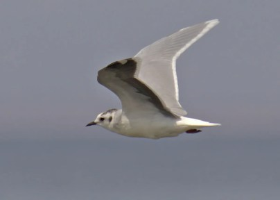 This adult Little Gull in basic plumage was near the west end of Young Road at the south end of Salton Sea, Imperial County 30 Aug–10 Sep 2020. This photo, taken on 10 Sep, shows the black cap and ear-spot along with the diagnostic dark under-wing of this rare visitor to California. Photo © Curtis A. Marantz.