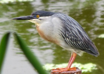 A Striated Heron was found and photographed on 12 Sep 2020 at SBRC, Mangrove Landfill, Saint Thomas, Barbados. It remained into 2021. Photo © Julian Moore.
