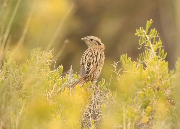 Oregon's sixth LeConte's Sparrow was in Fields, Harney Co, on 17 Sep 2020. This was the third fall record for Fields. Photo © Mark Ludwick.