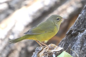 A bird believed to be a hybrid MacGillivray's x Mourning was at NRT on 26 Sep. This photo represents one of only a few photos available of an individual of this hybrid pair. Photo © Jodhan Fine