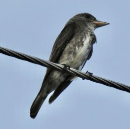 An Olive-sided Flycatcher discovered on 3 Oct 2020 by Erika Gates and Martha Cartwright at Garden of the Gates, Freeport, West Grand Bahama, proved to be the first record for The Bahamas. Photographed here on 4 Oct. Photo © Erika Gates.