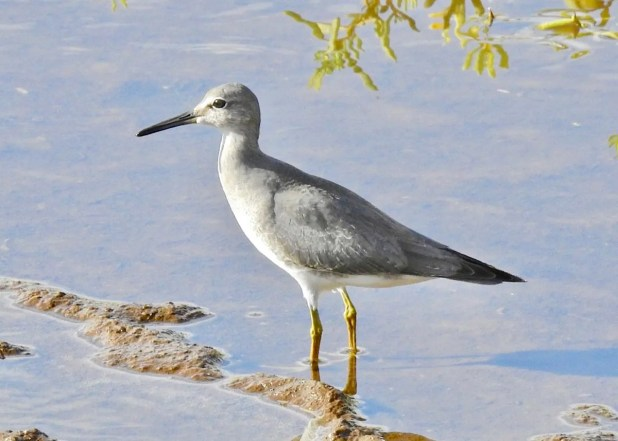 """This pale juvenile Gray-tailed Tattler was photographed at the Honouliuli Unit of Pearl Harbor NWR, Oʻahu on 12 Oct 2020. Though Wandering Tattlers are common in Hawaii, this bird gave the """"tu-whee"""" call indicative of Gray-tailed Tattler. Compared to Wandering Tattler, note the lighter gray plumage, stronger white supraloral bar, and long nasal slit. Photo © Michael Young."""