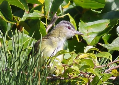 This Yellow-green Vireo, the third Massachusetts record, was seen 3–4 Oct 2020 (here 4 Oct) at Andrews Point in Rockport, Essex Co. It was on private property, which limited public access. Photo © Sean Williams.