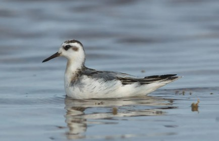 This juvenile Red Phalarope was one of several found across the state this season. This one was photographed on 13 Sep at Ute Lake. Photo © Ethan Gyllenhaal