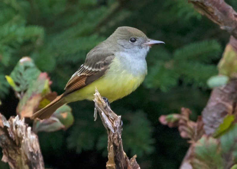 Photographed on 5 Nov 2020 at Long Beach in Cappahayden, Newfoundland, this Great Crested Flycatcher was one of two individuals at the location that day. Photo © Bruce Mactavish.