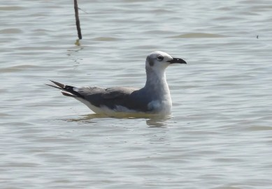 This Laughing Gull was a one day wonder at Brantley Lake in late Aug. Photo © Bob Nieman