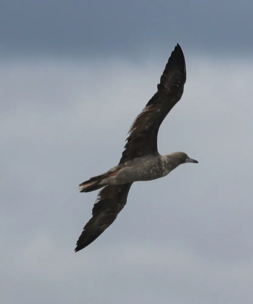 An exciting first for the Alabama-Mississippi region, an immature Red-footed Booby was a shocker at Ocean Springs, Jackson Co, Mississippi 16 Sep 2020 after passage of Hurricane Sally. Photo © Abby Darrah.