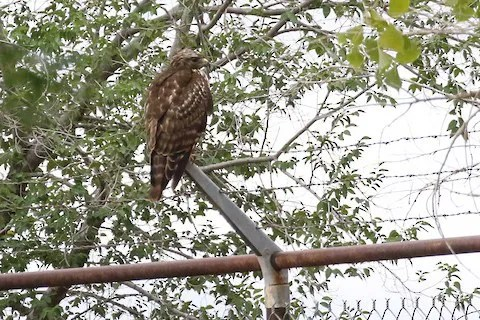 """This juvenile """"eastern"""" Red-shouldered Hawk was at Conchas Lake for eleven days. Photo © Raymond VanBuskirk"""
