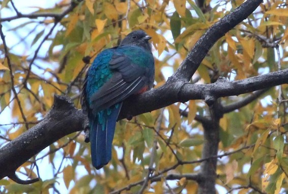Long awaited in New Mexico, two Eared Quetzals were found in the Pinos Altos Mountains in late Sep and remained until the last few days of Oct. Photo © Jodhan Fine