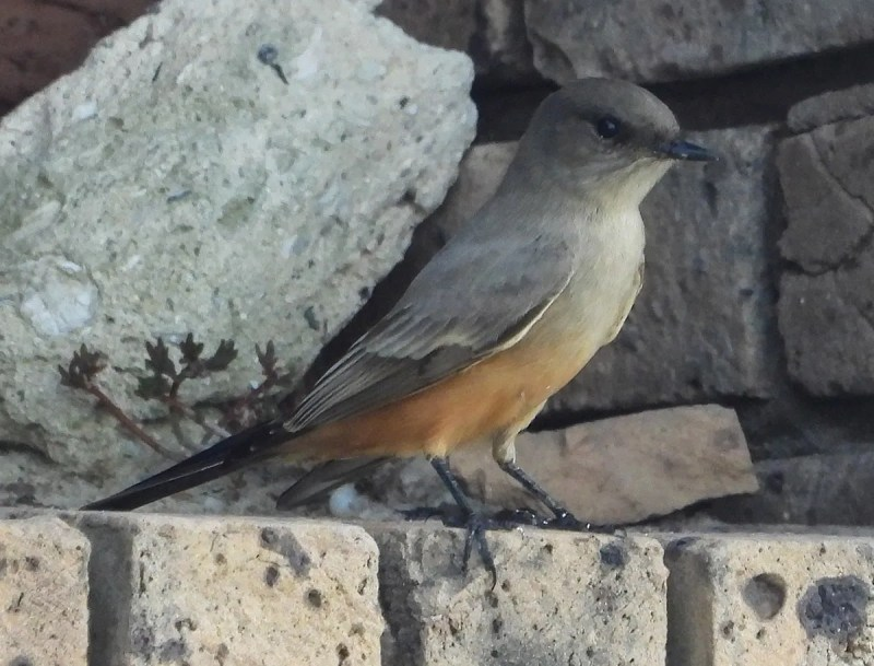 This Say's Phoebe, Alabama's 11th, delighted observers 11–17 Oct 2020 at Dauphin Island, Mobile Co. 11 Oct 2020. Photo © Howard E. Horne.