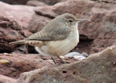Discovered at North Cape on 20 Nov 2020, this Rock Wren photographed by visiting birder Grant Milroy provided the first record of the species for the province. Photo © Grant Milroy.
