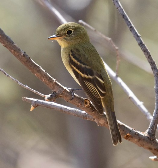The only Yellow-bellied Flycatcher of the season was at the Melrose Trap on 16 Sep. Photo © Alec Hopping