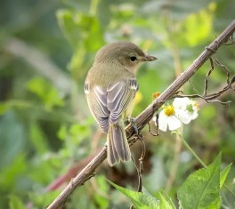 One of a surprising eight records this fall for Bell's Vireo in the Alabama-Mississippi region, this bird was at Dauphin Island, Mobile Co, Alabama 2 Oct 2020. Photo © Marilyn Steelman.