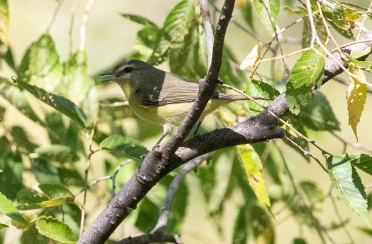 This Philadelphia Vireo was a first for Guadalupe. Photo © Michael Hilchey