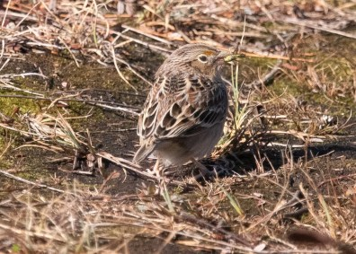 Rare to Nova Scotia, this Grasshopper Sparrow was present 18 Oct in Taylor Head Provincial Park in Halifax. 18 Oct 2020. Photos © Phil Taylor.