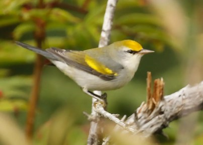 """This bird was initially thought to be a Golden-winged Warbler by those who discovered it, but they quickly realized it was instead a Golden-winged x Blue-winged Warbler, more specifically, the dominant hybrid known as """"Brewster's"""" Warbler. 7 Sep 2020. Photos © Mark Dennis."""
