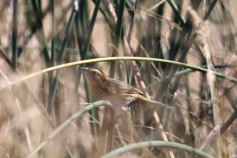 """A long awaited species for state listers, this Nelson's Sparrow was discovered at a small wetland in Santa Rosa and represented the first """"chaseable"""" record for the state. The first state record was killed by a cat in 2003. Photo © Nicholas Pederson"""