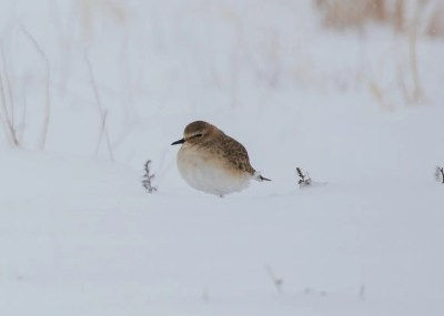 Rare for Bernalillo, and a late record for the state, this Mountain Plover was found waiting-out an unexpected snowstorm on Albuquerque's west mesa. Photo © Michael Hilchey