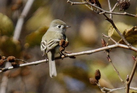 This individual provided NB with its first record of Hammond's Flycatcher when it was discovered within the Fundy National Park 12 Nov. Photo by © Jim Wilson.