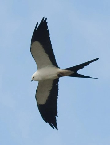 This Swallow-tailed Kite was an exceptional vagrant to NS at Argyle Head 11 May. Photo by © Alix d'Entremont.