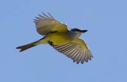 Discovered 24 Oct. at Rockville, NS by Ervin Olsen, this Tropical Kingbird was well documented, providing the province with its first record of the species, despite the fact it did not linger. Photos by © Alix d'Entremont.