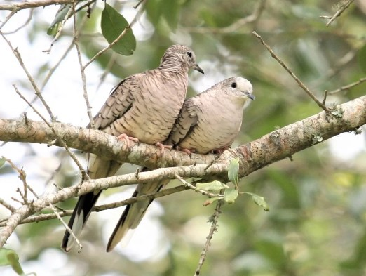 Inca Doves have been increasing as breeders in the Gulf Coast region of Alabama for several years. Birds were monitored at a new site this year at Silverhill, Baldwin (here 15 July 2018). Photo by Bill Summerour.