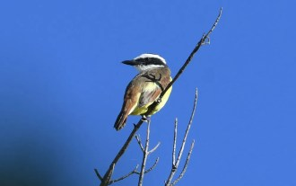 Establishing New Mexico's 11th record, this Great Kiskadee at Percha State Park, Sierra County, was present from 12 (here 13) November 2016 through the season. Photo by Nancy E. Hetrick.