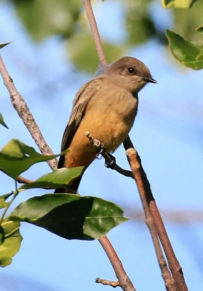 This Say's Phoebe was found on Islet Vert, a small island located in the St. Lawrence River, east of Montreal 2 Sep. There are now about 30 records of this western species in the province. Photo by © Denis Tétreault.