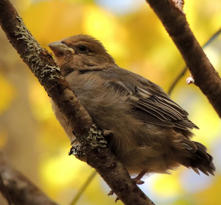 This recently-fledged Pine Grosbeak was photographed at Lac de la Pruche Plaquée near Newport (Gaspésie) 6 Oct. and identified by Michel Gosselin, ornithologist and curator of the bird collection at the Canadian Museum of Nature. Photo © by Jean-Marc Smith