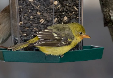 This immature male Western Tanager visited a feeder at Charlesbourg 18 Nov. onwards (here 20 Nov.). There are now close to 45 records in the province for this western species. Photo © by Suzanne Labbé.